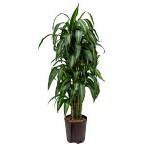 Dracaena hawaiian sunshine vertakt M hydrocultuur plant