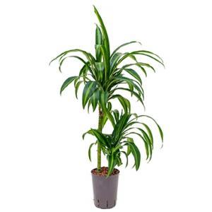 Dracaena hawaiian sunshine duo S hydrocultuur plant