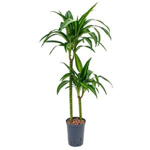 Dracaena hawaiian sunshine duo M hydrocultuur plant