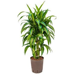 Dracaena hawaiian sunshine vertakt S hydrocultuur plant