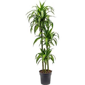 Dracaena hawaiian sunshine M kamerplant