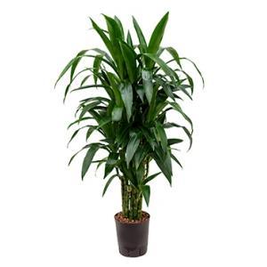 Dracaena janet craig multi M hydrocultuur plant