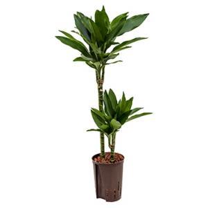 Dagaanbieding - Dracaena janet lind menno hydrocultuur plant dagelijkse aanbiedingen