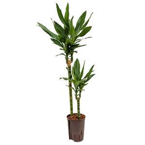Dracaena janet lind iruna hydrocultuur plant