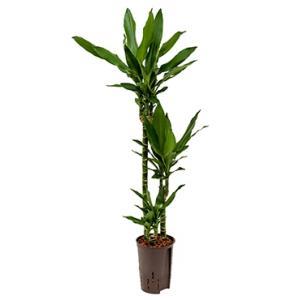 Dracaena janet lind pindo hydrocultuur plant