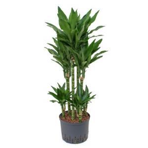 Dracaena janet lind torin hydrocultuur plant