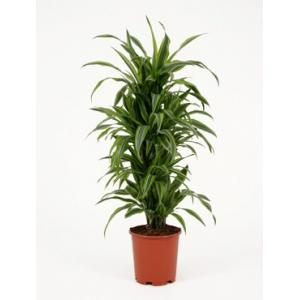 Dracaena lemon lime multi S kamerplant