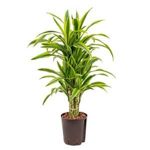 Dracaena lemon lime talara hydrocultuur plant