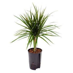 Dracaena marginata spider S hydrocultuur plant