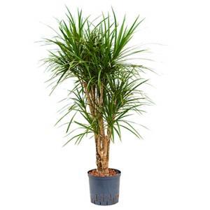 Dracaena marginata XL hydrocultuur plant