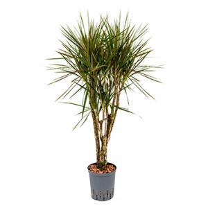 Dracaena marginata spider vertakt S hydrocultuur plant