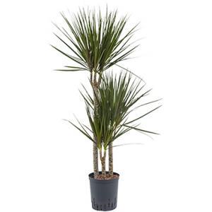 Dracaena marginata spider trio S hydrocultuur plant