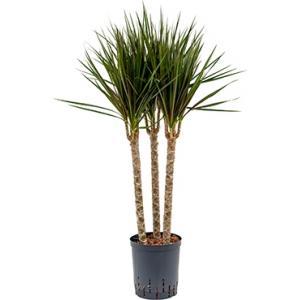 Dracaena marginata spider trio 45 hydrocultuur plant