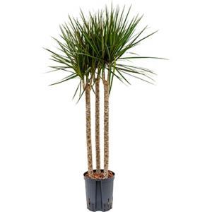 Dracaena marginata spider trio 60 hydrocultuur plant