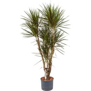 Dracaena marginata spider vertakt L hydrocultuur plant