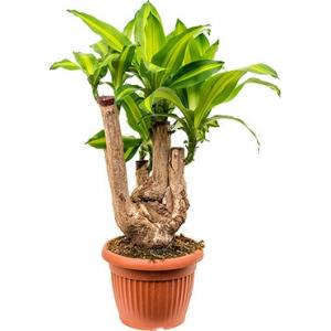 Dracaena massangeana L kamerplant