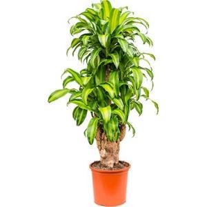 Dracaena massangeana XXXL kamerplant