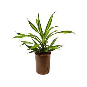 Dracaena riki S hydrocultuur plant