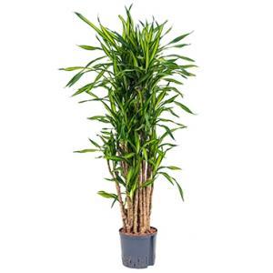 Dracaena riki vertakt M hydrocultuur plant
