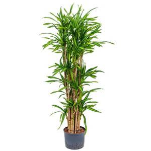 Dracaena riki vertakt L hydrocultuur plant