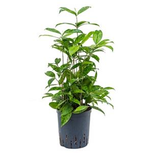 Dracaena surculosa S hydrocultuur plant