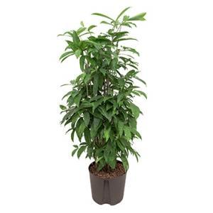Dracaena surculosa XL hydrocultuur plant