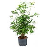 Dracaena surculosa cantik hydrocultuur plant