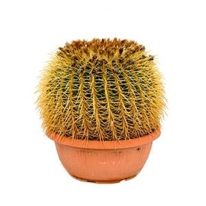 Echinocactus grusonii L kamerplant