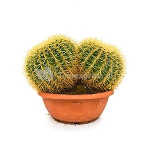 Echinocactus grusonii double M kamerplant
