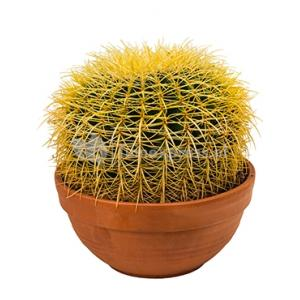 Echinocactus grusonii S kamerplant