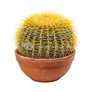 Echinocactus grusonii M kamerplant