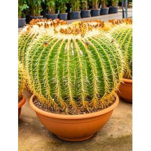 Echinocactus grusonii XXL kamerplant