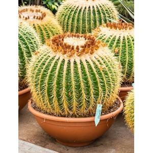 Echinocactus grusonii XL kamerplant