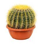 Echinocactus grusonii XS kamerplant
