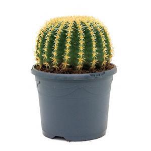 Echinocactus grusonii intermedius kamerplant