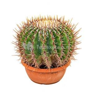 Echinocactus cactus ingens M kamerplant