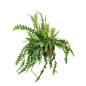 Epiphyllum zaagcactus anguliger M hangplant
