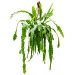 Epiphyllum zaagcactus beavertail M hangplant