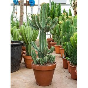 Euphorbia cactus cooperii M kamerplant