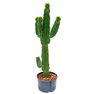 Dagaanbieding - Euphorbia cactus ingens XL hydrocultuur plant dagelijkse aanbiedingen