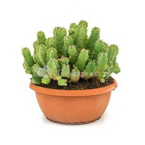 Euphorbia cactus resinifera XL kamerplant