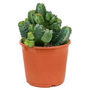 Euphorbia cactus resinifera M kamerplant
