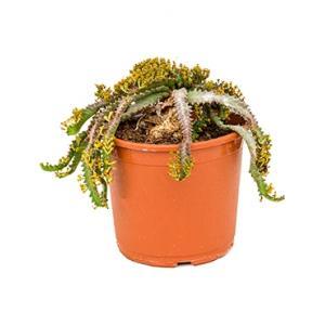Euphorbia cactus stellata kamerplant