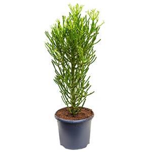 Euphorbia cactus tirucalli M kamerplant