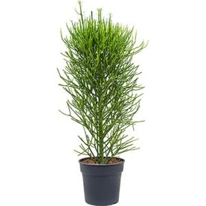Euphorbia cactus tirucalli L kamerplant