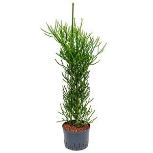 Euphorbia cactus tirucalli L hydrocultuur plant