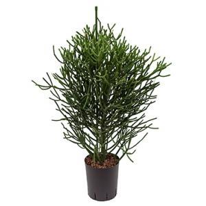 Euphorbia cactus tirucalli M hydrocultuur plant
