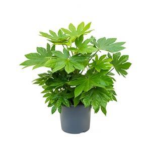 Vingerplant Fatsia japonica M kamerplant