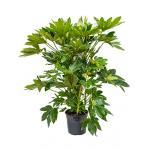 Vingerplant Fatsia japonica L kamerplant
