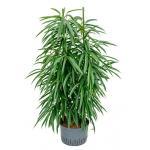 Ficus alii 2pp hydrocultuur plant